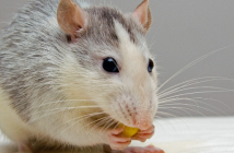 This is an image of a mouse eating.