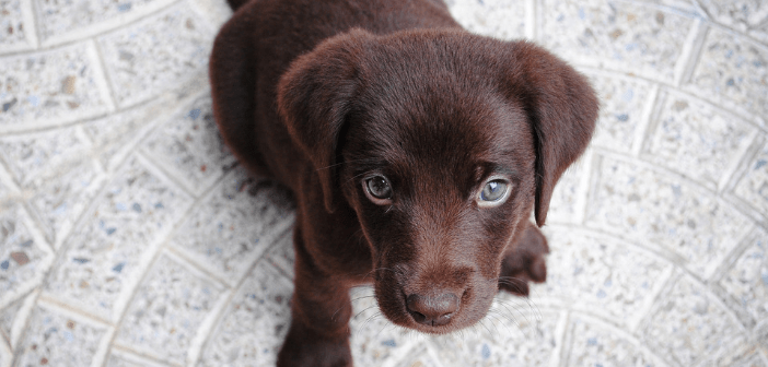This image shows a chocolate brown puppy with blue eyes.