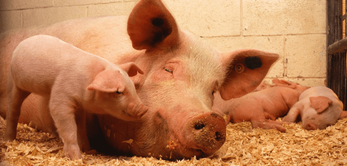 This is an image of a pig with baby pigs around.