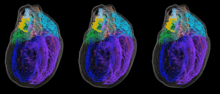 This image shows a whole-heart view of the 3D reconstructed male rat heart, showing the extent and distribution of the intrinsic cardiac neurons.